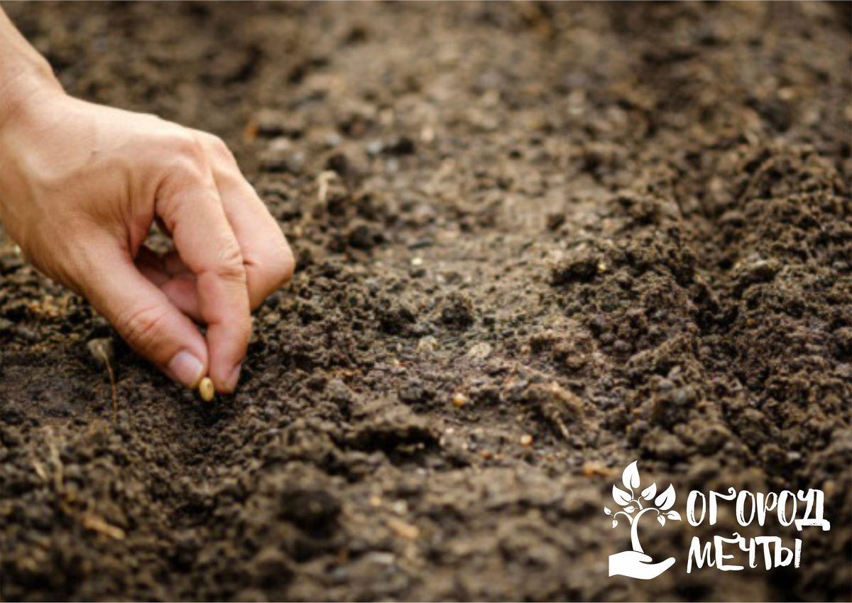 Выбор участка и подготовка грунта к подзимнему посеву щавеля