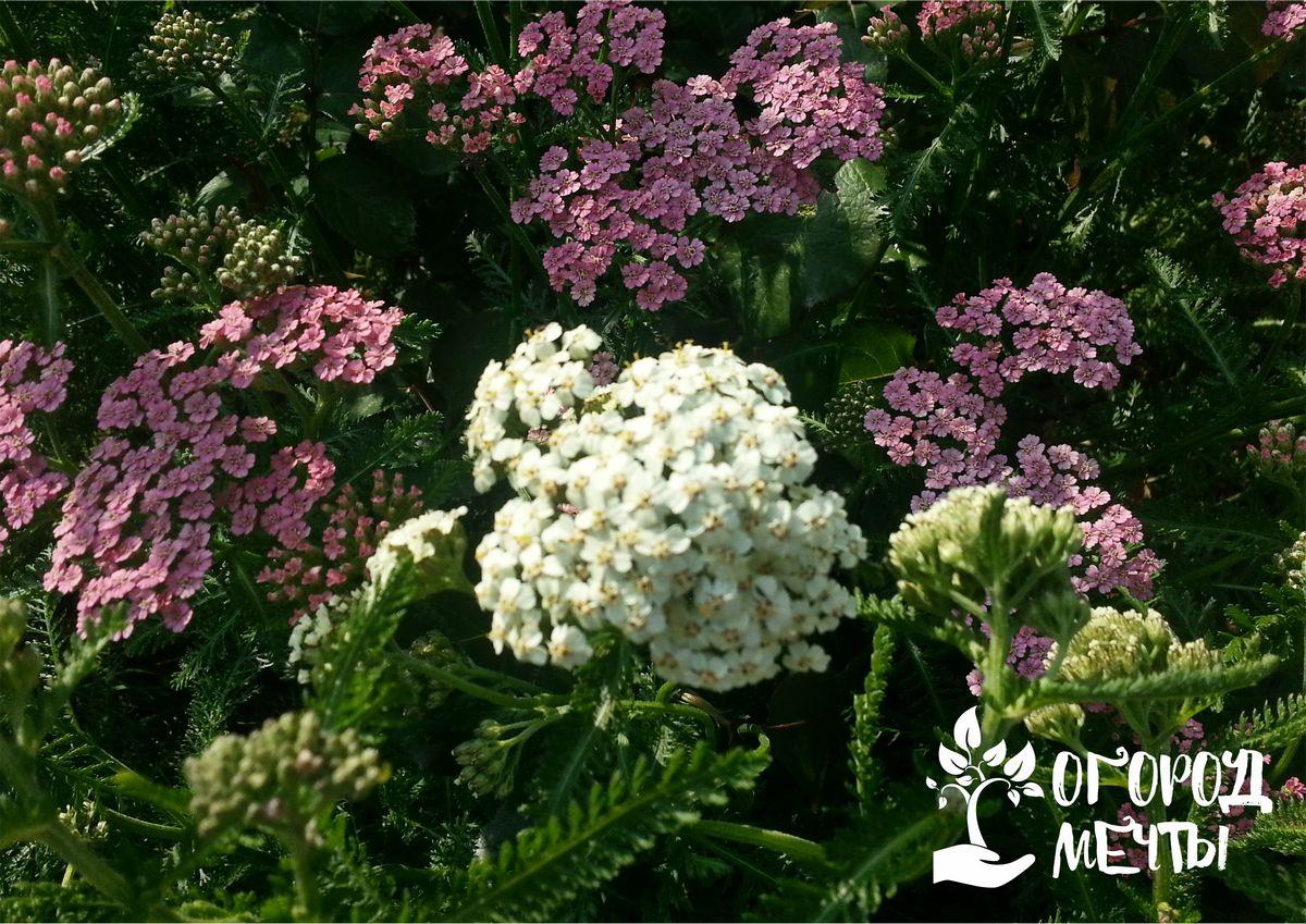 Тысячелистник как сорняк, лекарственное средство и декоративное украшение сада