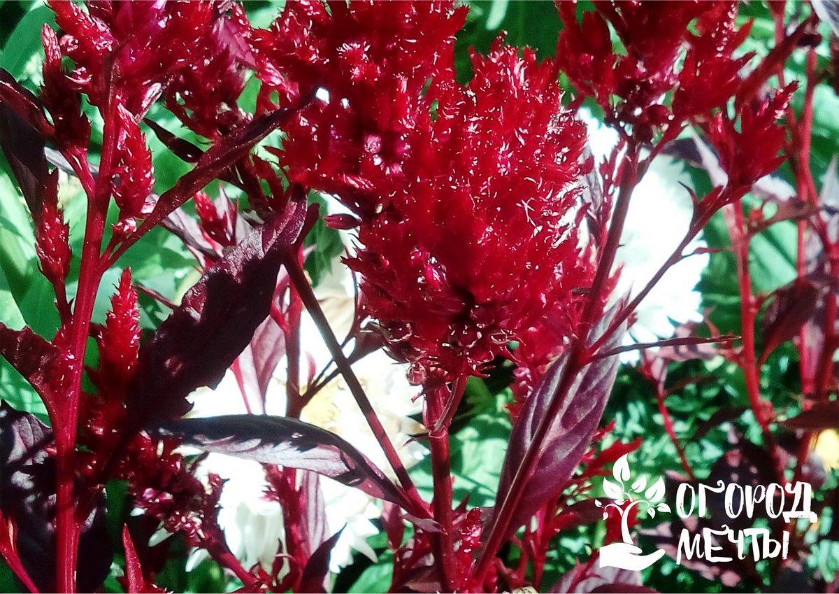 Целозия – цветочное пламя в вашем саду