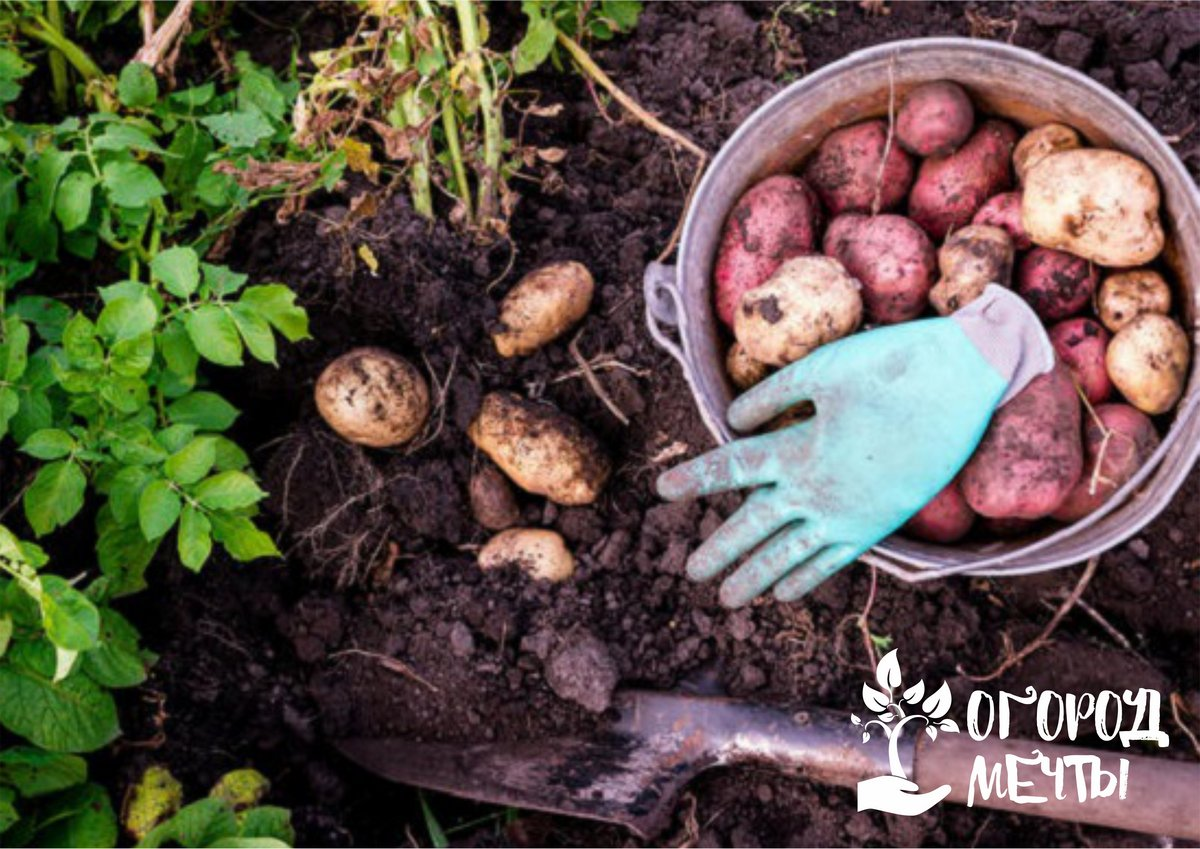 Как уничтожить нематоз на картофеле
