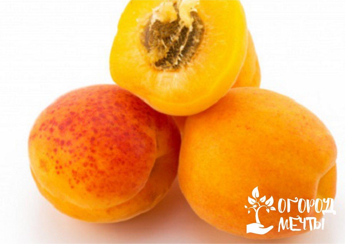 самый морозостойкий абрикос