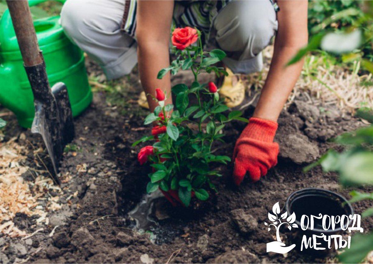 Как выбрать качественный саженец розы