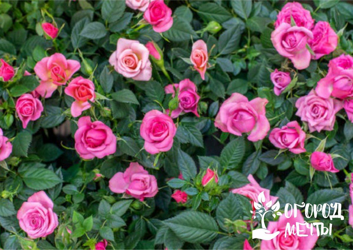Как сохранить кусты роз до посадки