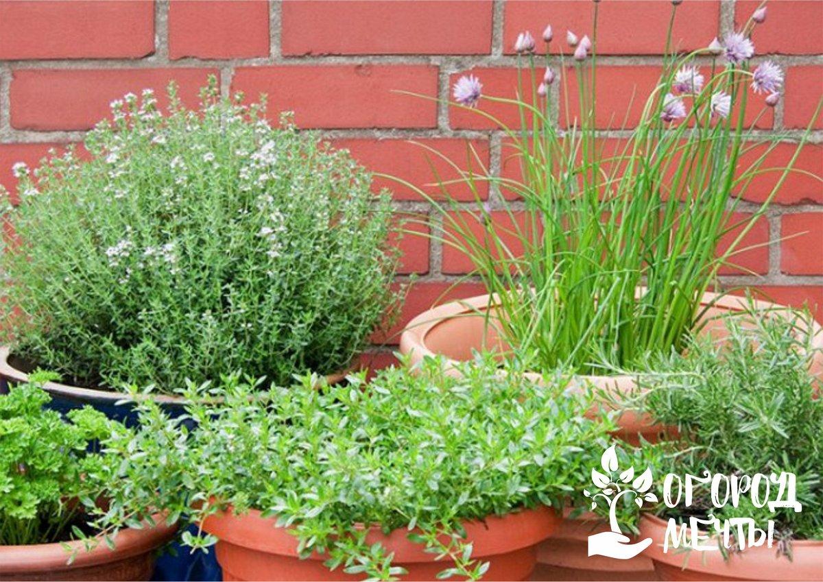 Выращивание пряных трав и специй в саду и цветнике