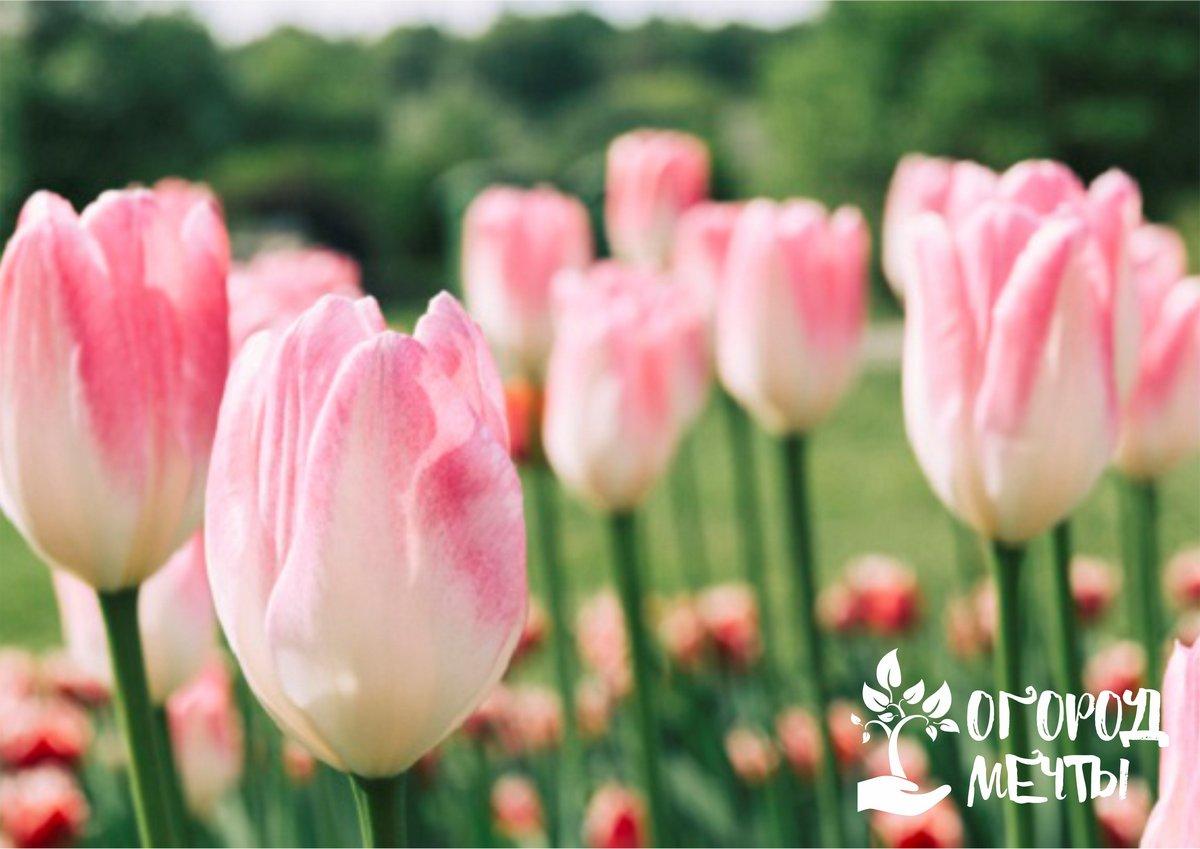 Как посадить тюльпаны поздней осенью