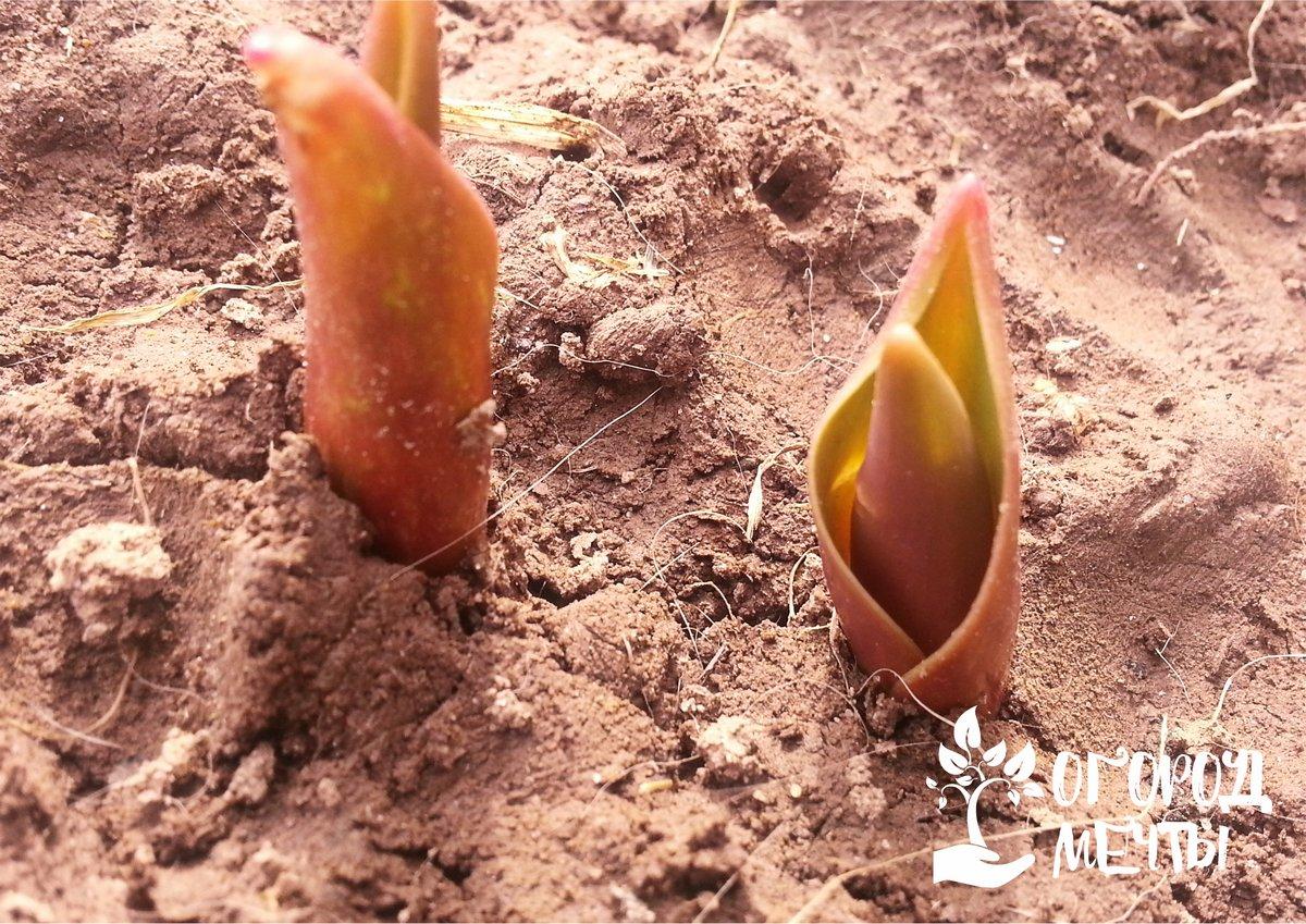 Глубина посадки луковиц