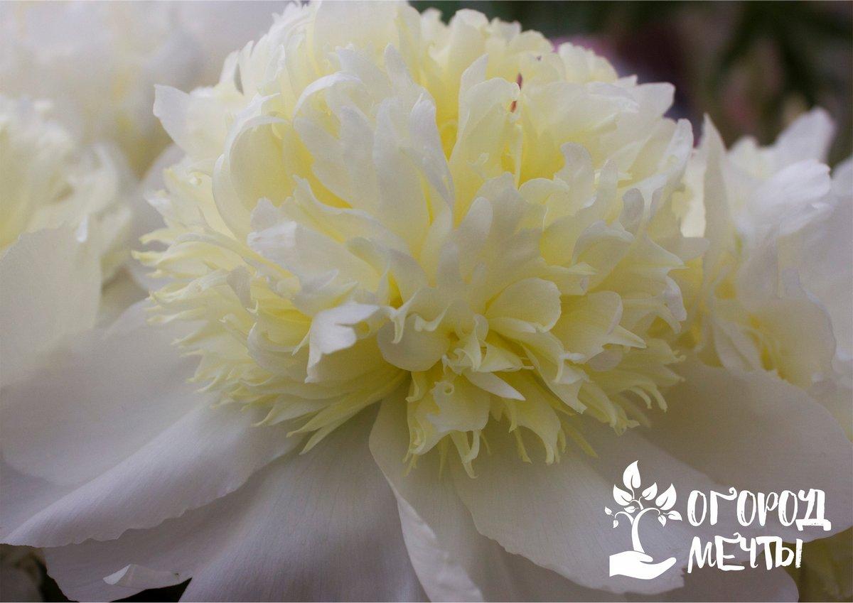 Пионы – весенние розы
