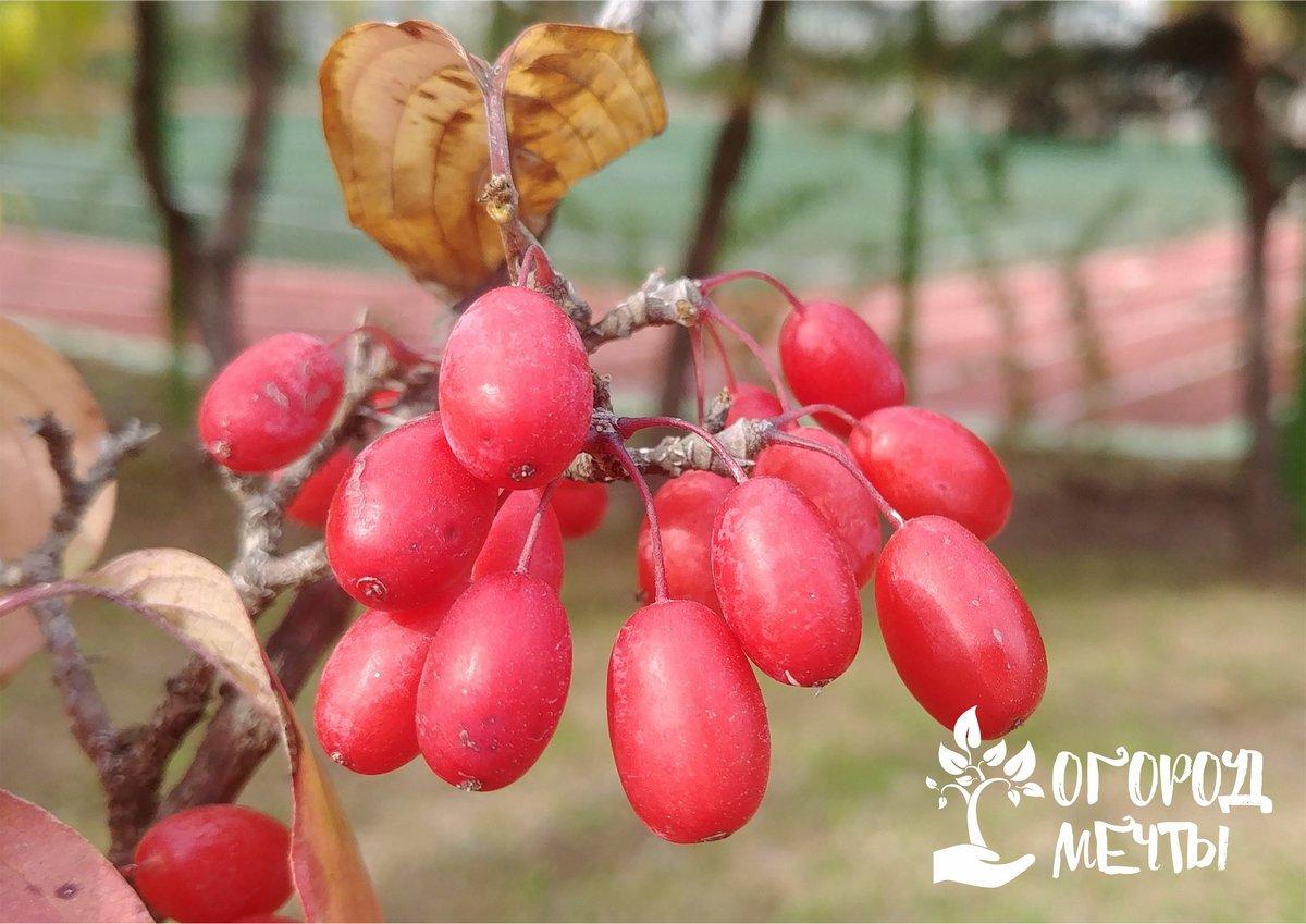 1. Лимонник китайский