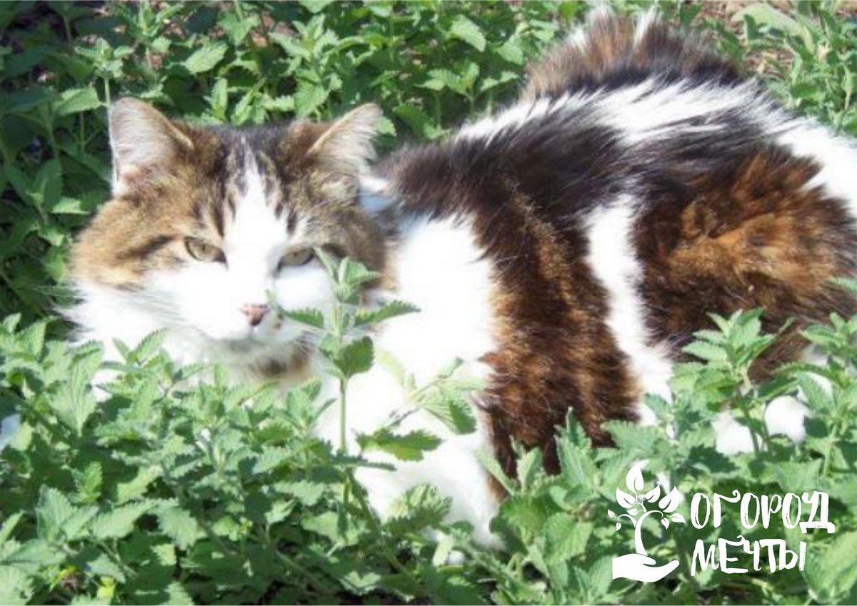 . Если вы решили высаживать кошачью мяту, будьте аккуратны. Кошки специфически реагируют на это растение