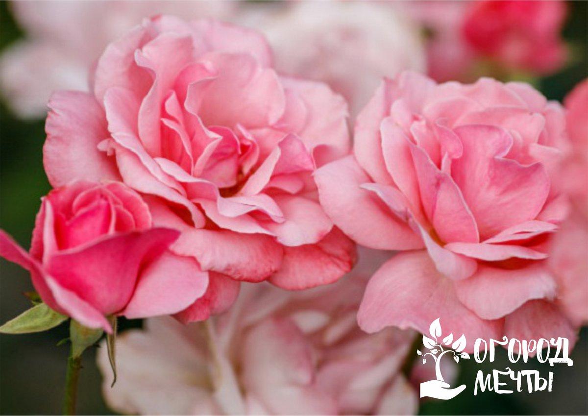 Зимнее хранение саженцев розы до посадки