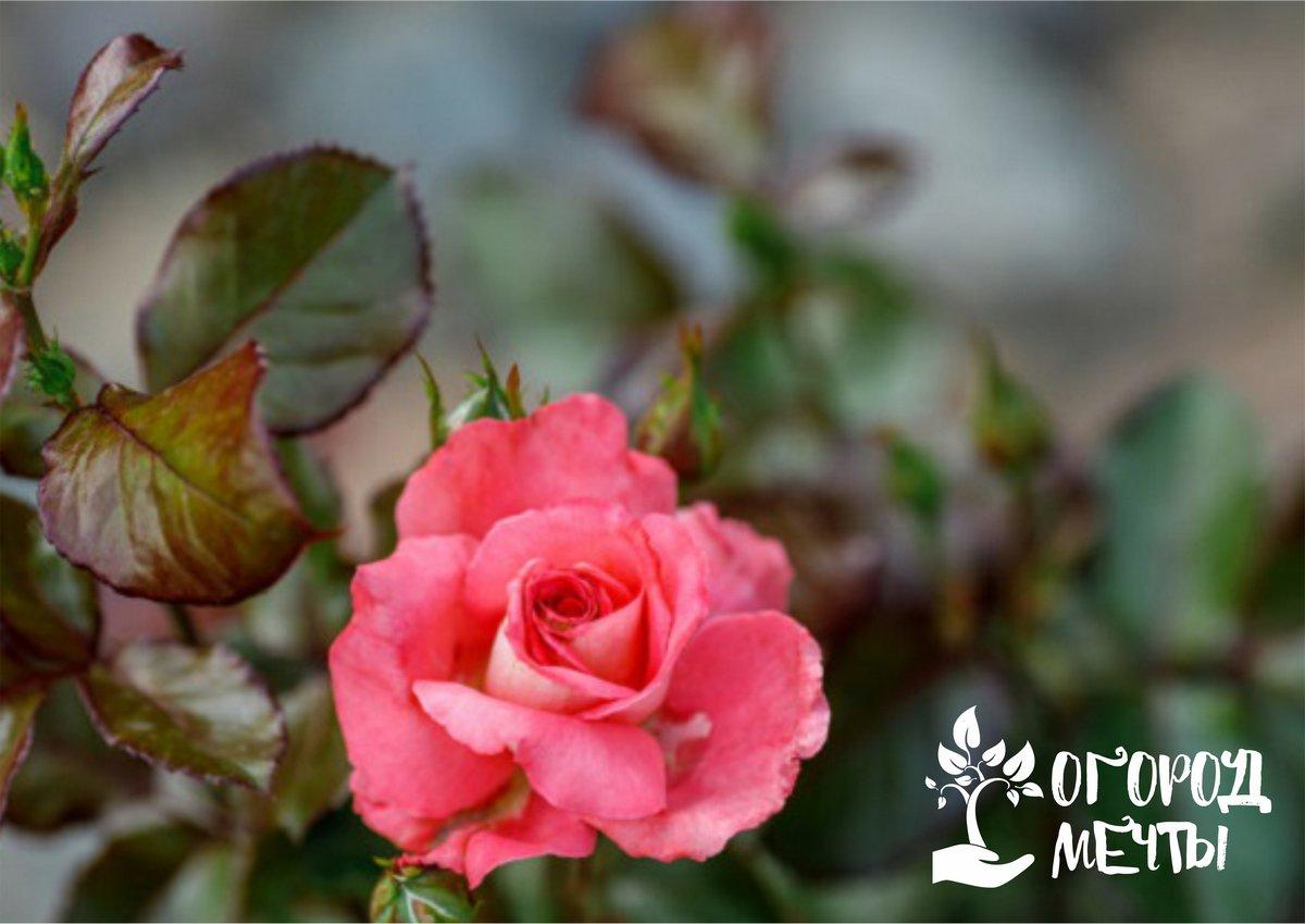 Как хранить розы в холодильнике