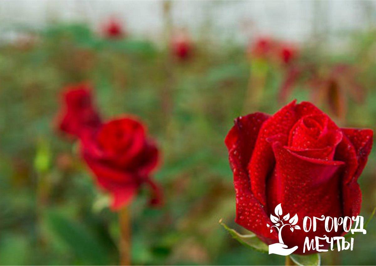 Высадка роз в открытый грунт