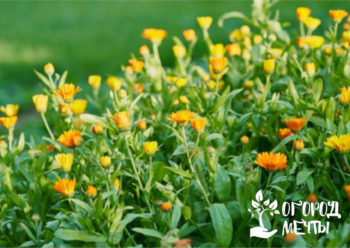Летние растения, которые цветут весь сезон