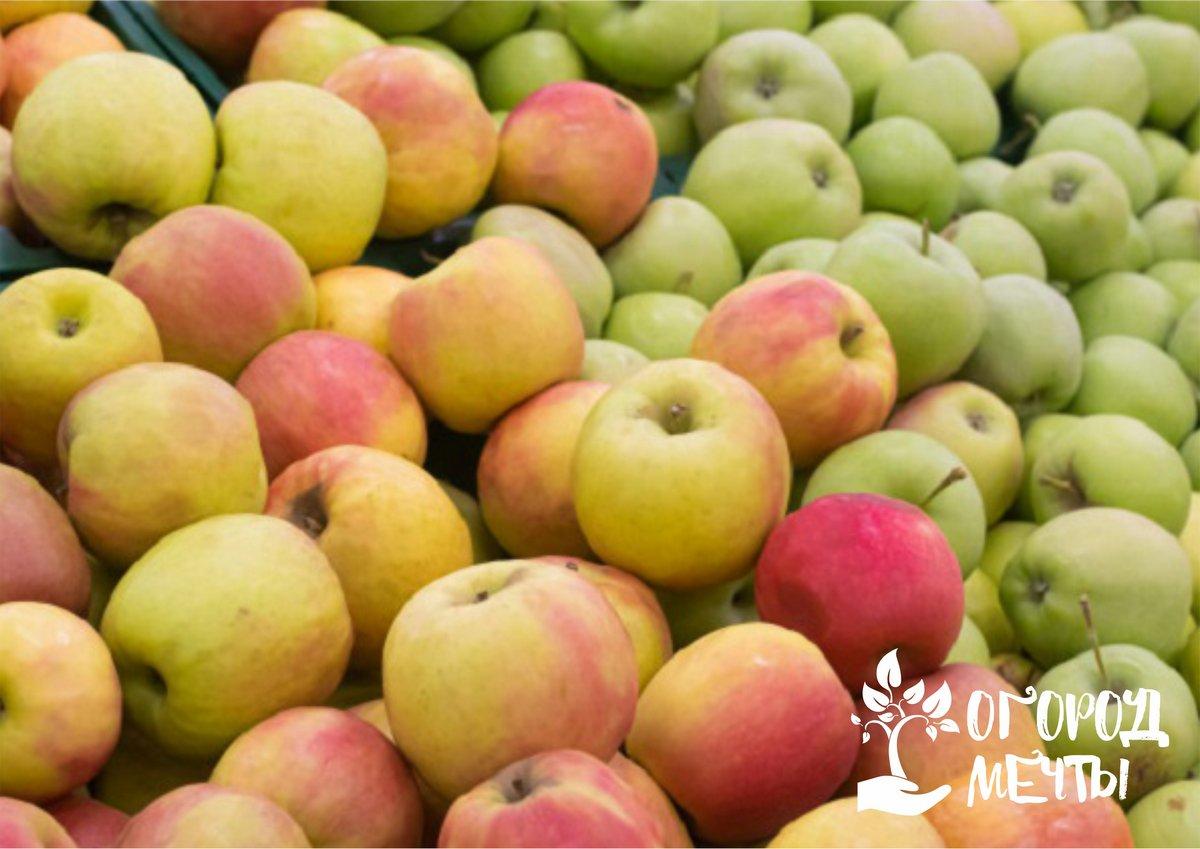 Особенности зимних сортов яблок