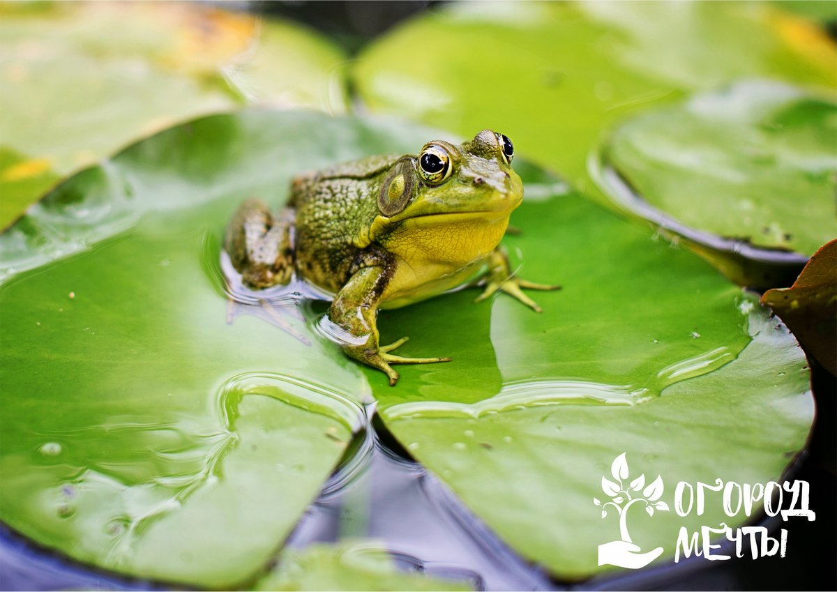 Вредны или полезны лягушки для сада-огорода