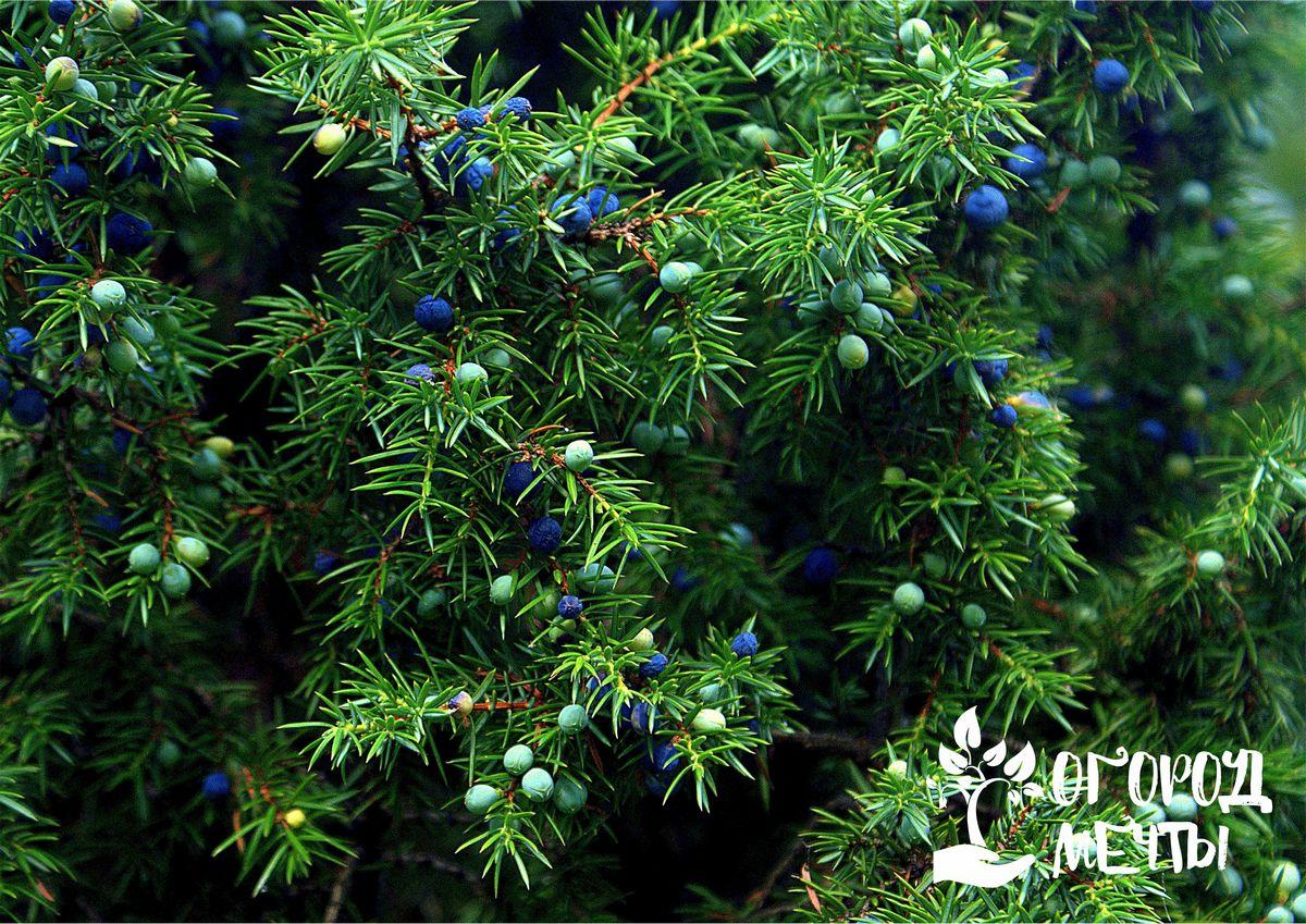 Можжевельник на приусадебном участке: 6 причин посадить и выращивать