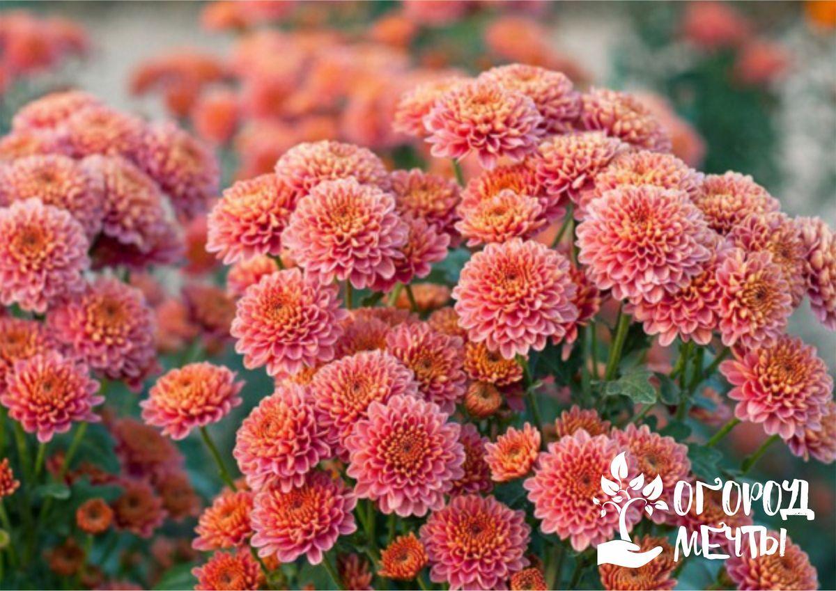 Особенности и разновидности хризантем