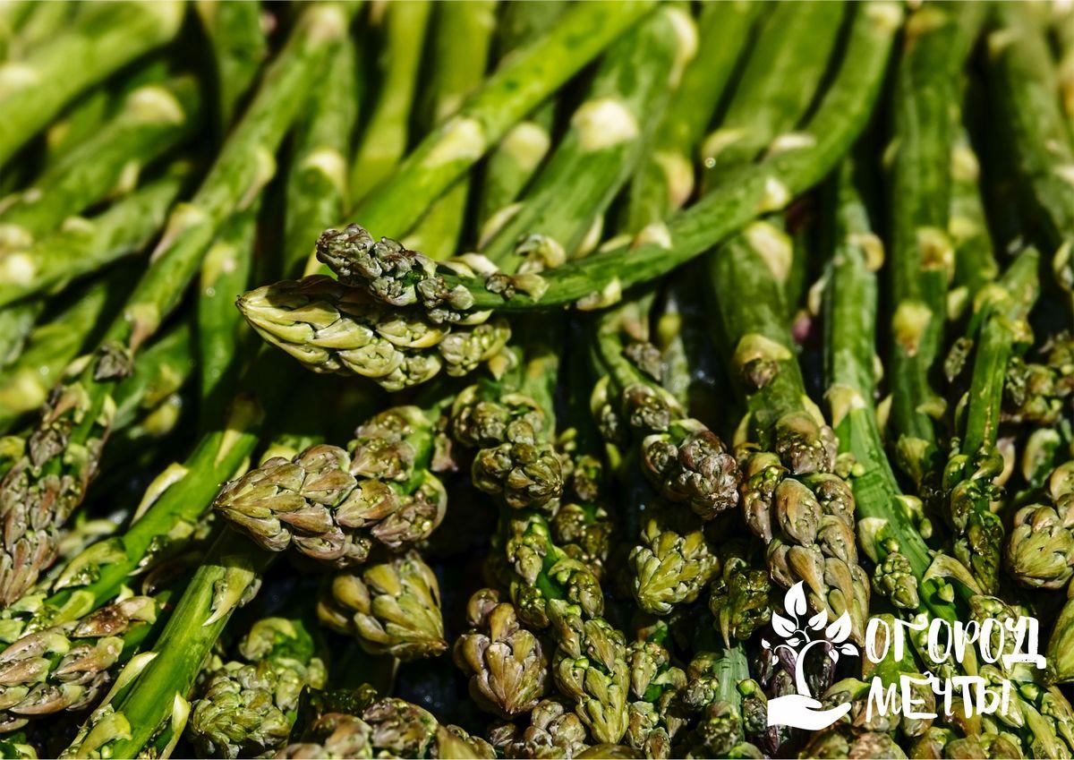 Спаржа густоцветковая (Asparagus densiflorus)