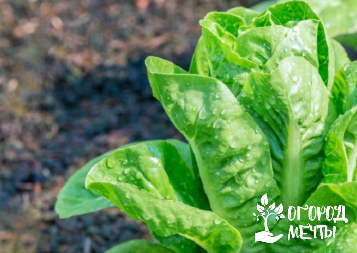 Основные разновидности салата