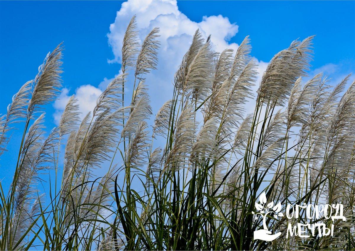Мискантус и тростник песчаный: декоративные травы для сада, за которыми не нужно ухаживать