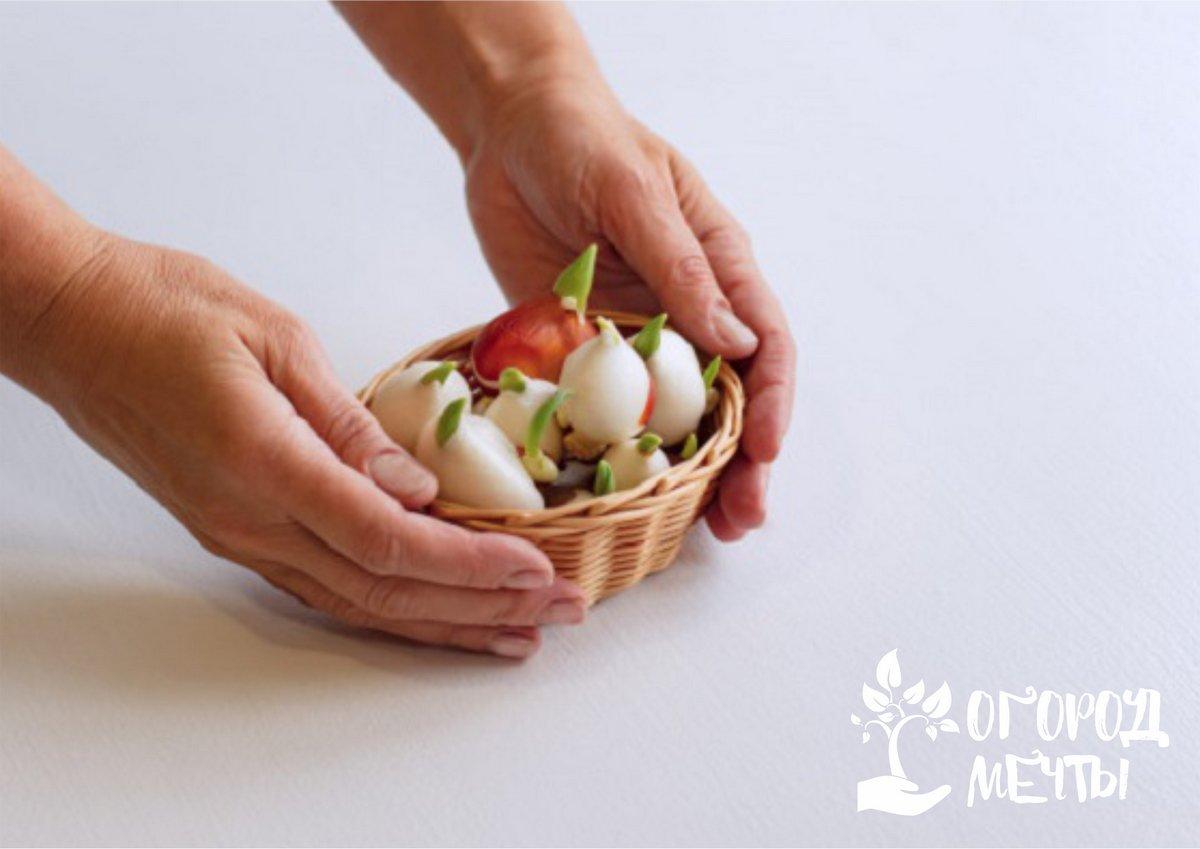 Зимняя выгонка тюльпановых луковиц в домашних условиях