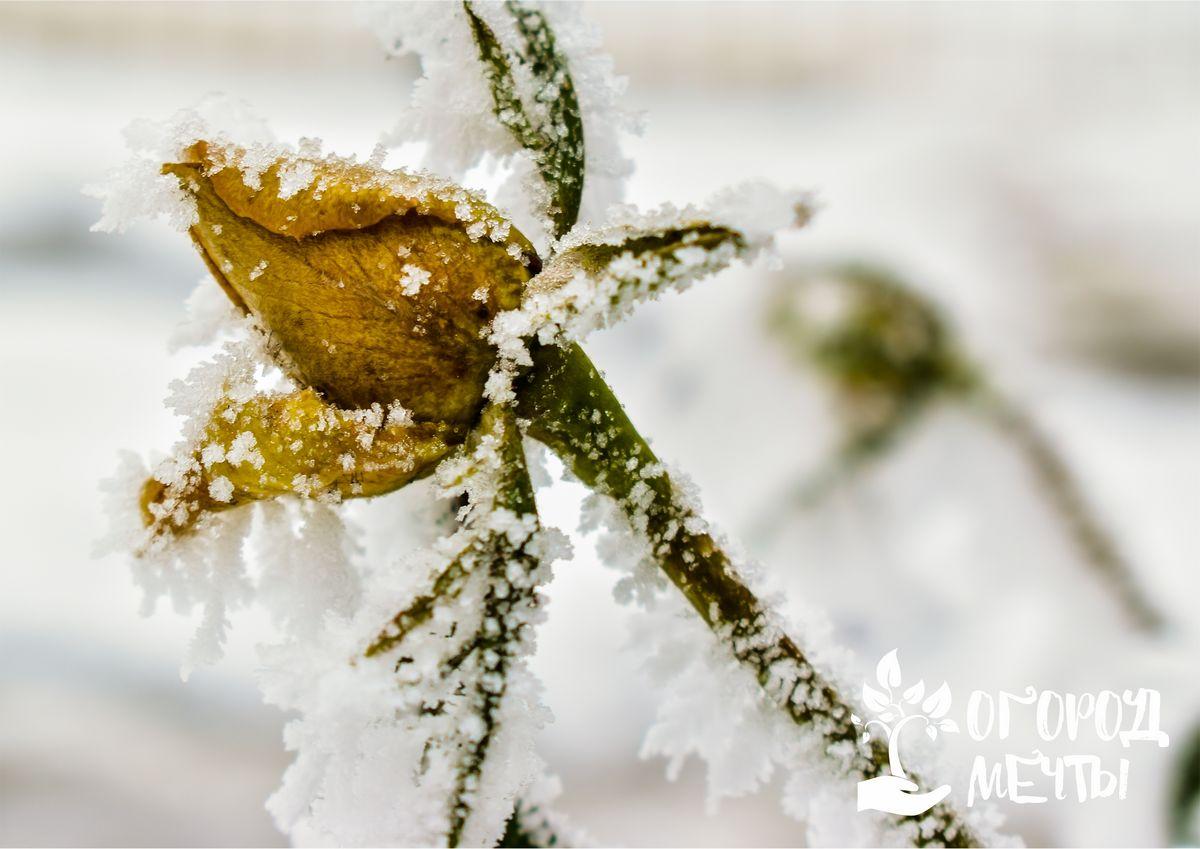 Отсутствие снега зимой – это повод побеспокоиться об огородных и садовых культурах