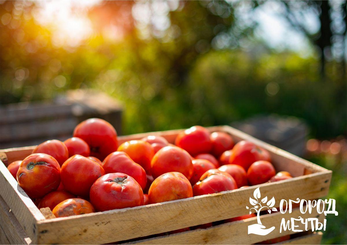 Выращивание сладких помидоров на даче: лучшие сорта