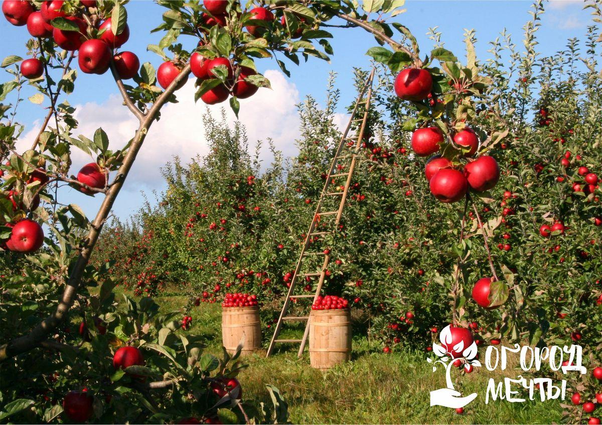 Какие растения нельзя сажать возле яблони и под ней