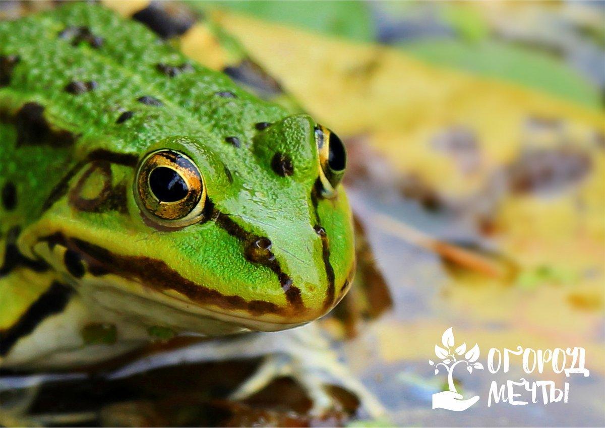 Как приветить лягушек у себя на огороде. Что это даст?