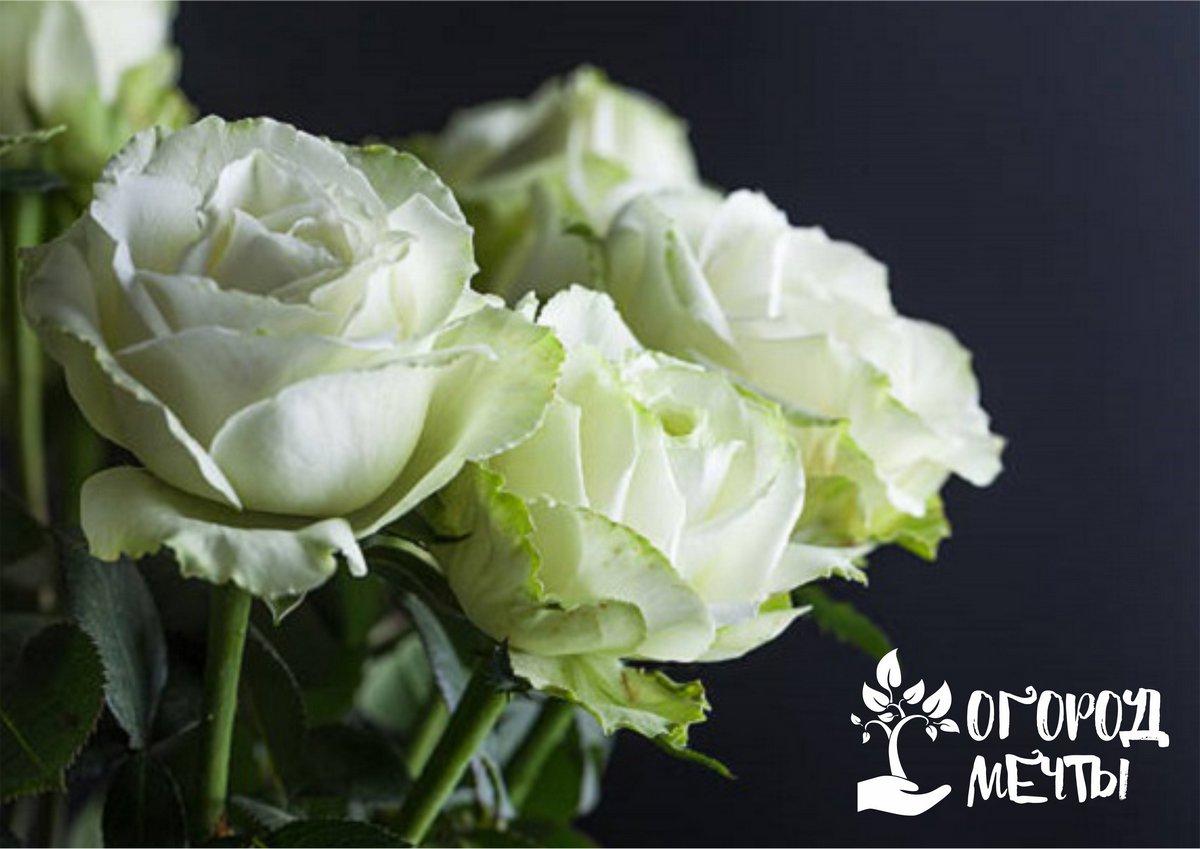 Топ-9 лучших сортов чайно-гибридных роз: самых неприхотливых и простых в выращивании