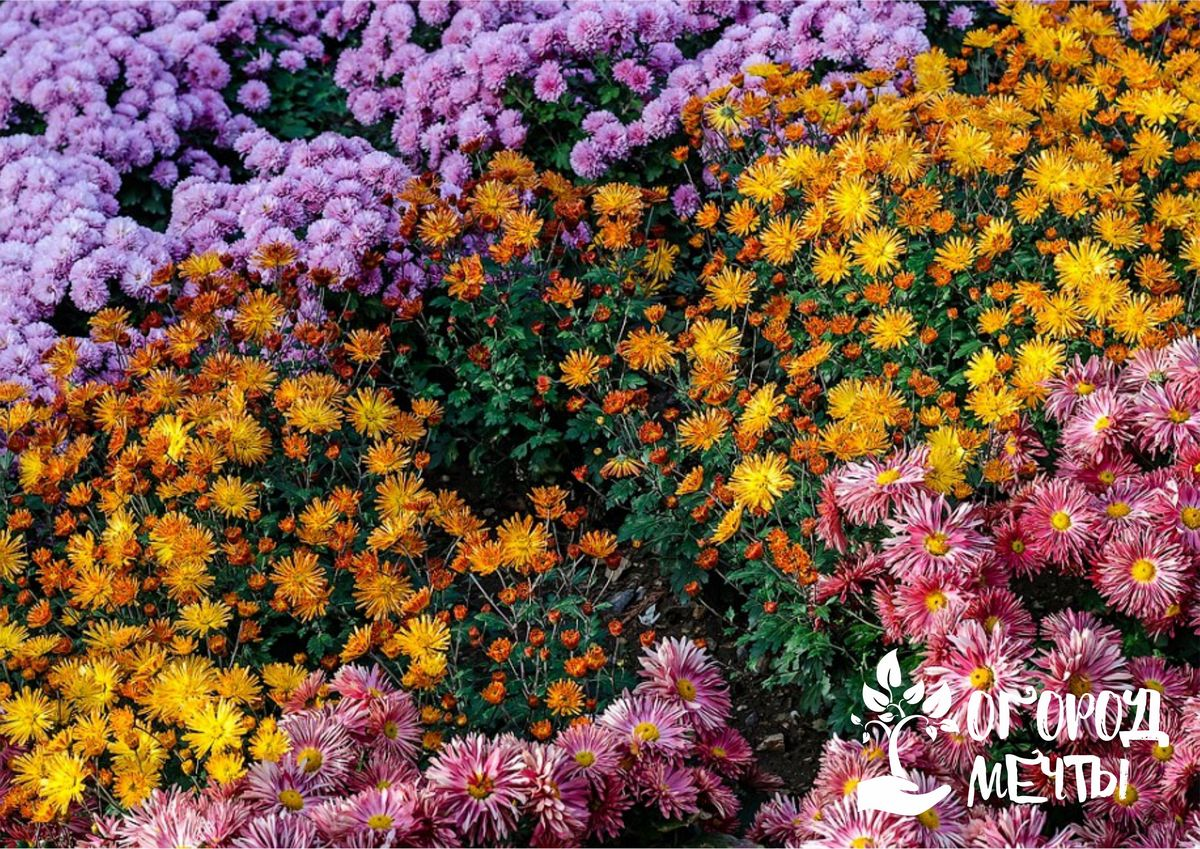 Кустовые хризантемы: лучшие сорта, уход и посадка