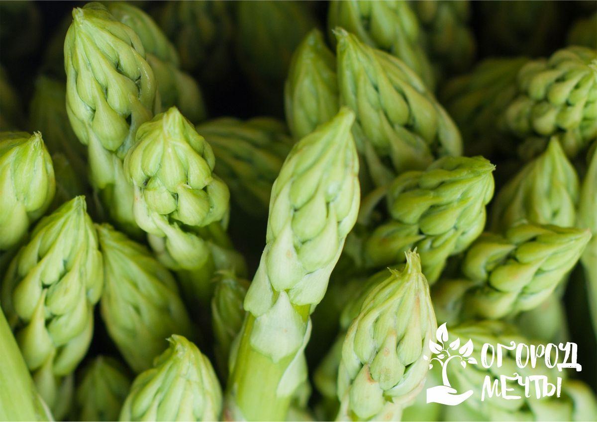 Спаржа лекарственная (Asparagus officinalis)