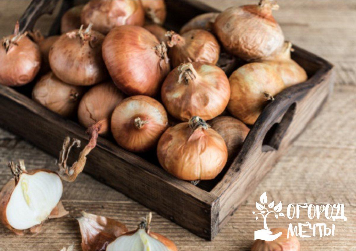 Лук и чеснок: особенности зимнего хранения пряных овощей