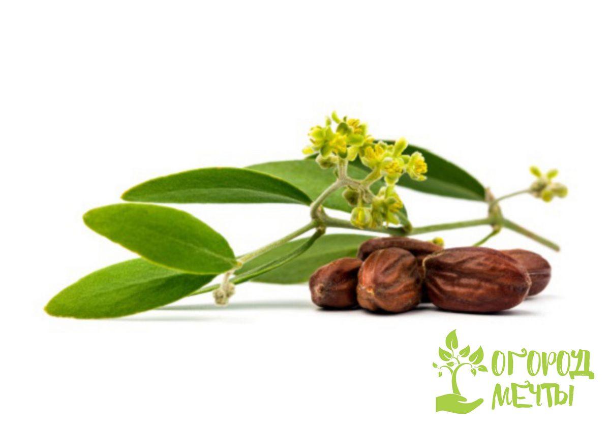 Выращивание жожоба: нюансы ухода