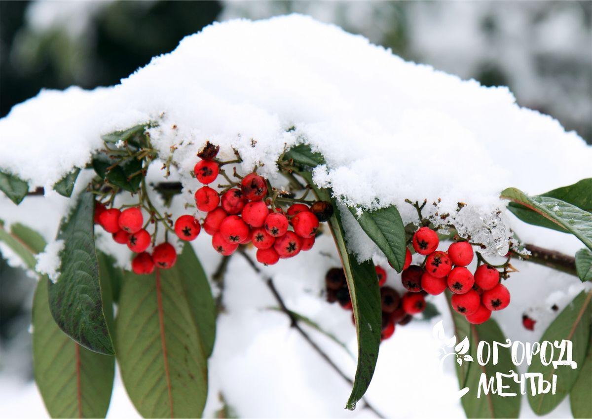 Как защитить растения от мороза бесснежной зимой