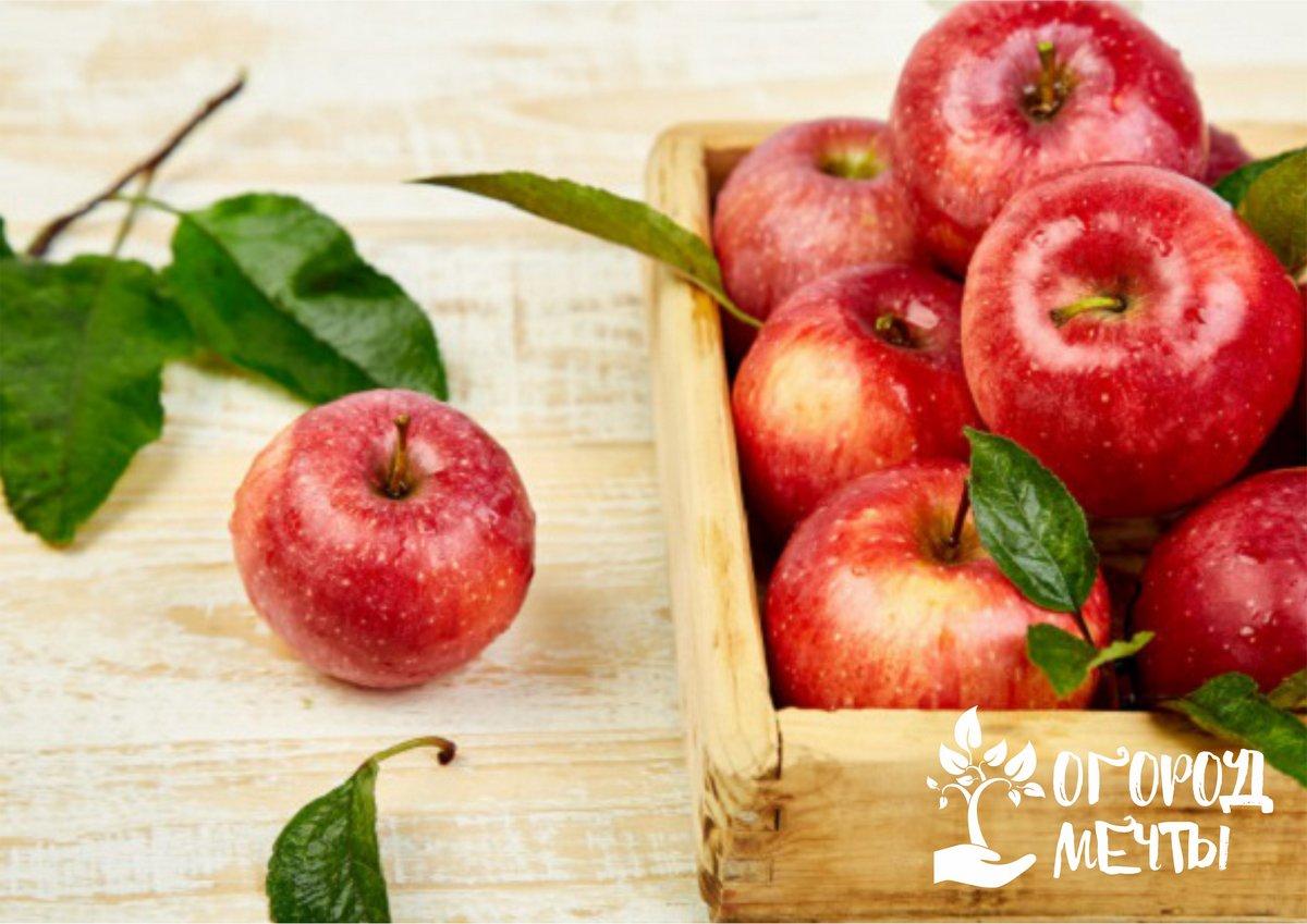 Раннезимние яблоки: топ-13 лучших сортов