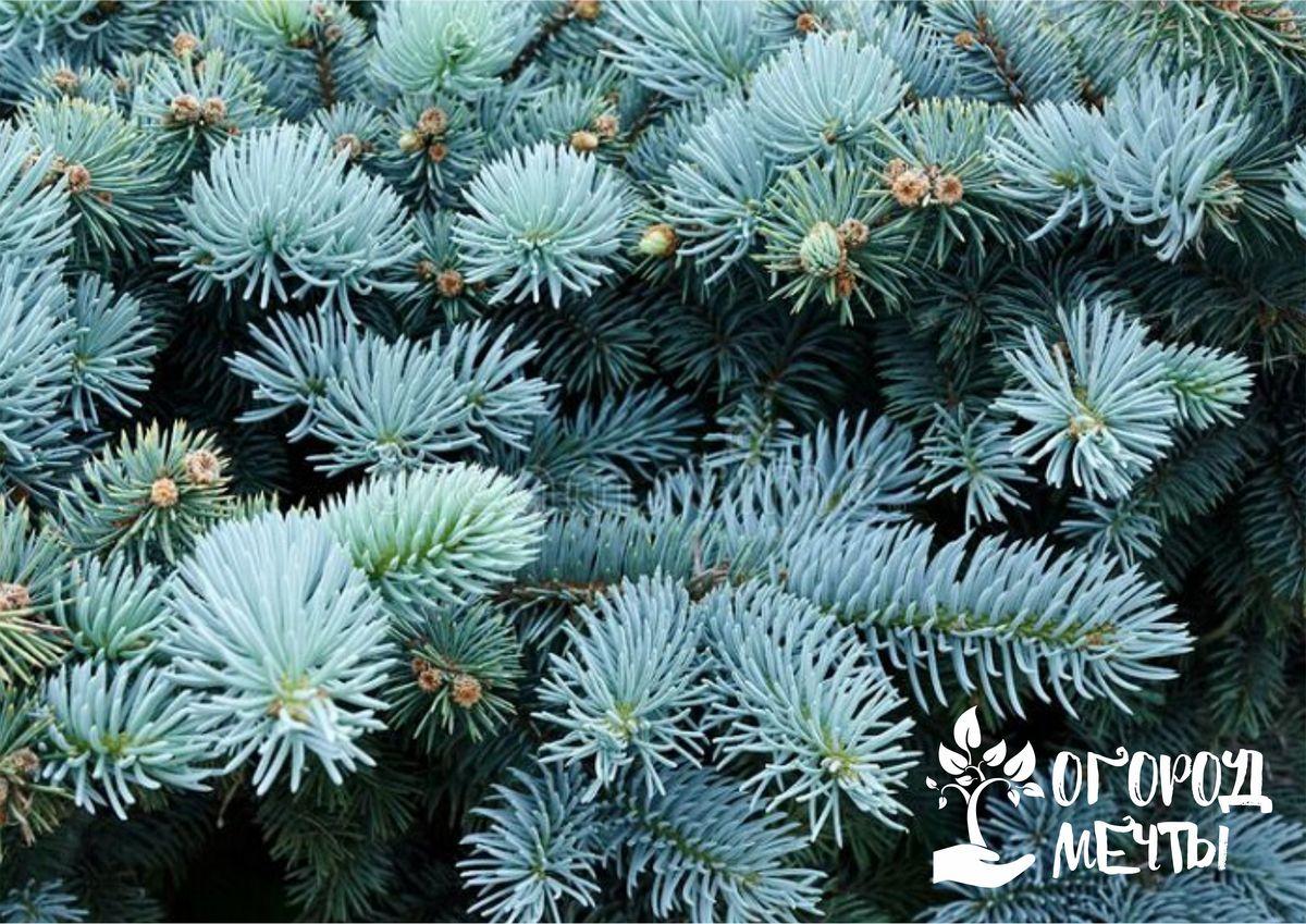 Голубая ель: выращивание, лучшие сорта и нюансы ухода