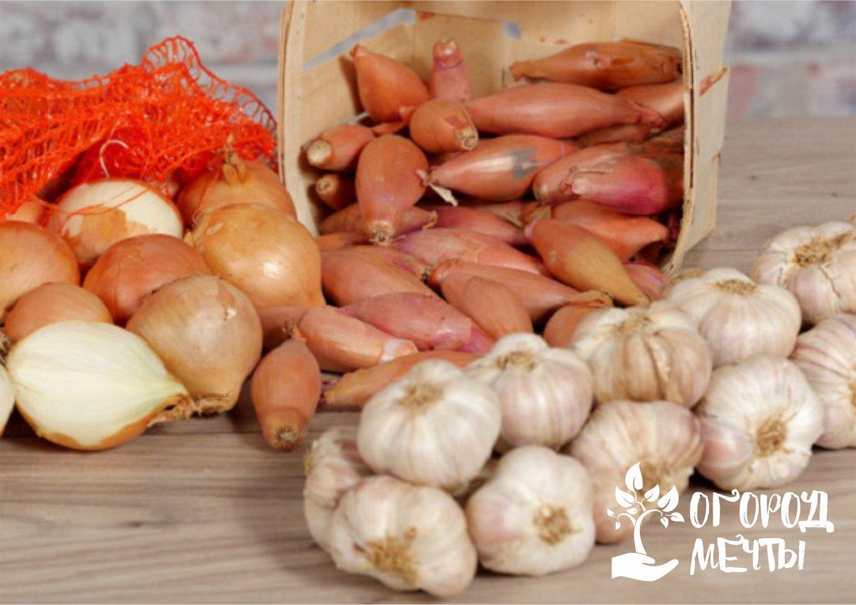 Оптимальная влажность и температурный режим для хранения луковичных овощей