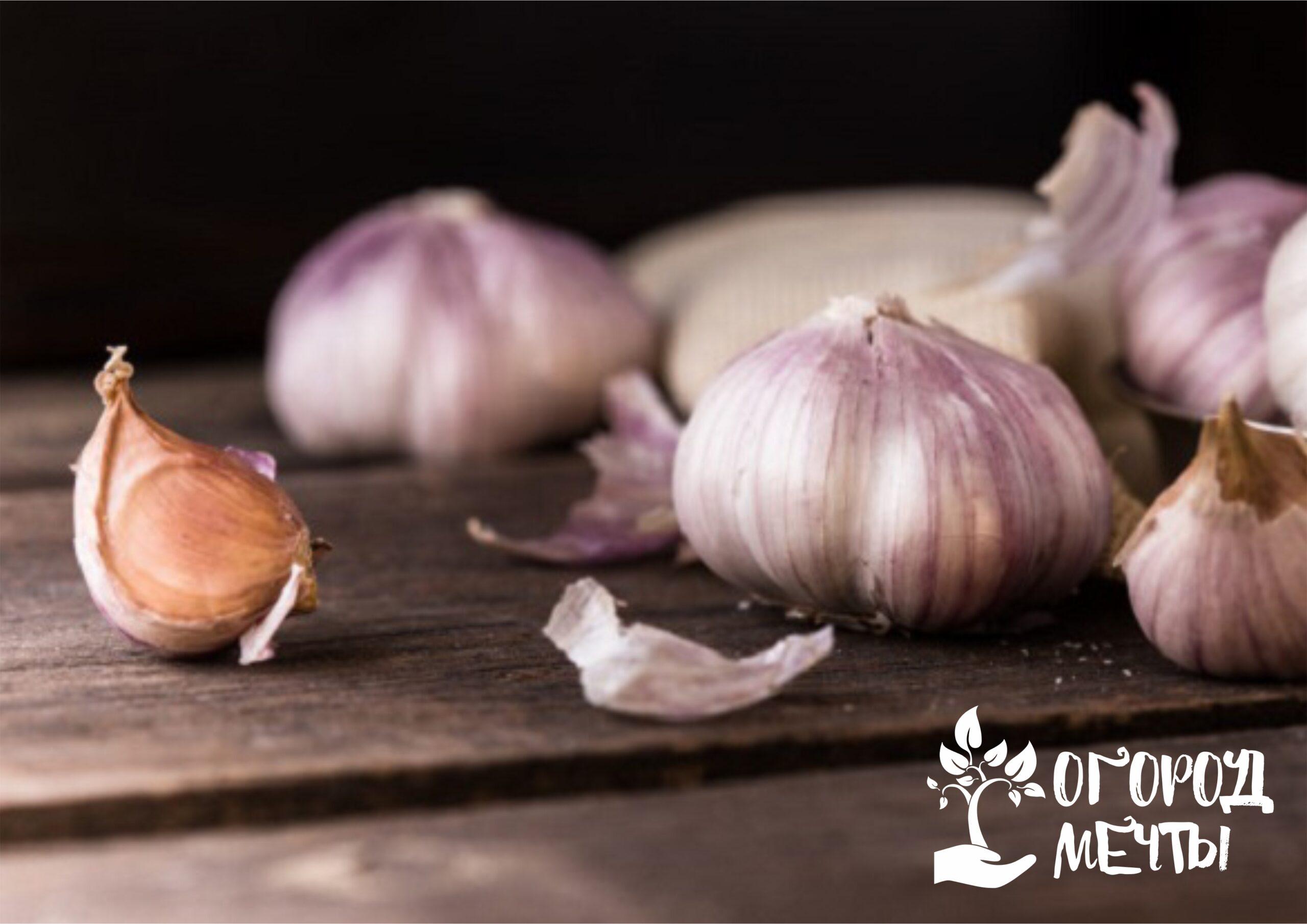 Лучшие сорта озимого чеснока для сибирского метода посадки культуры