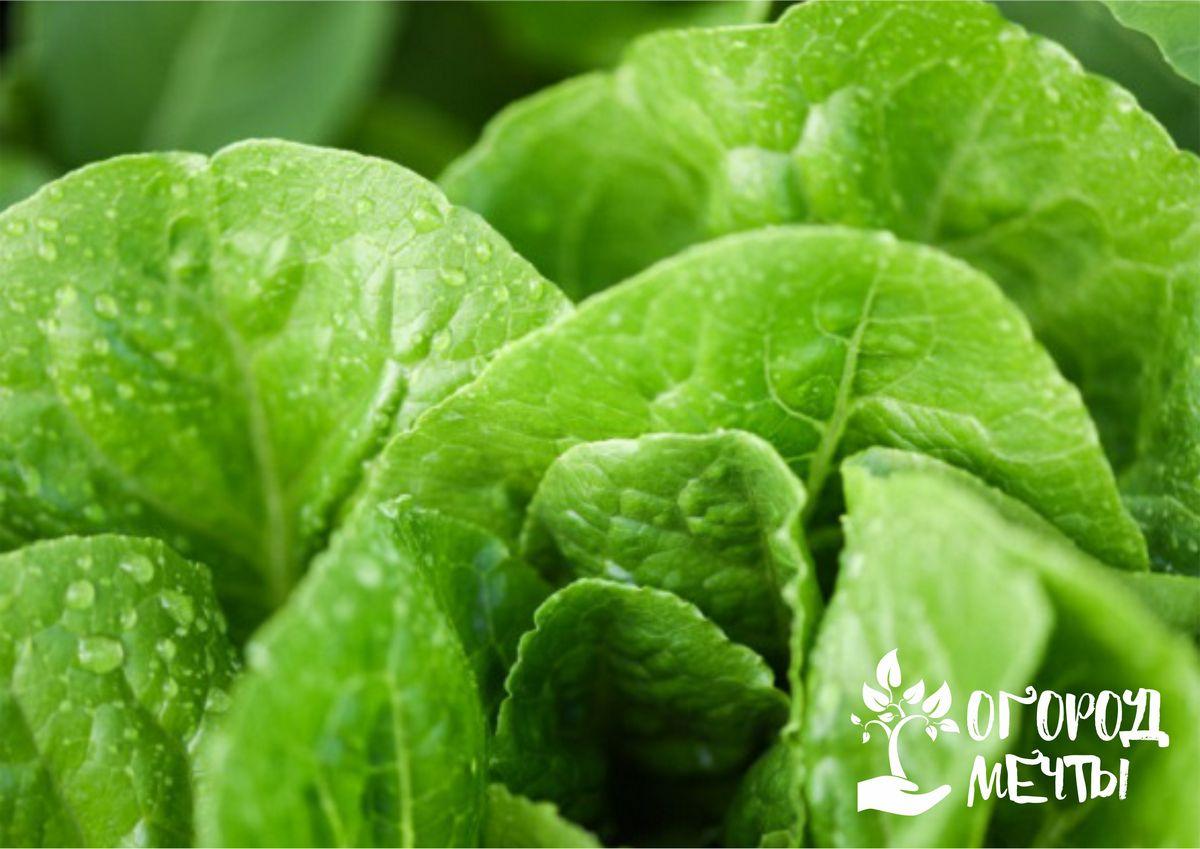 о великолепных сортах салата для теплицы