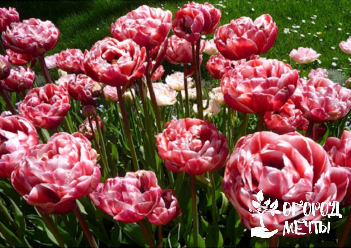 Такие сорта тюльпанов идеально подходят для ландшафтного дизайна