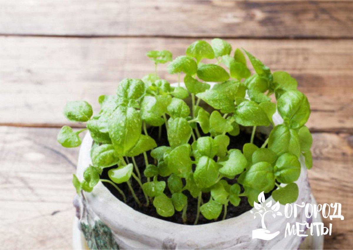 Здоровая рассада: секреты выращивания крепких сеянцев