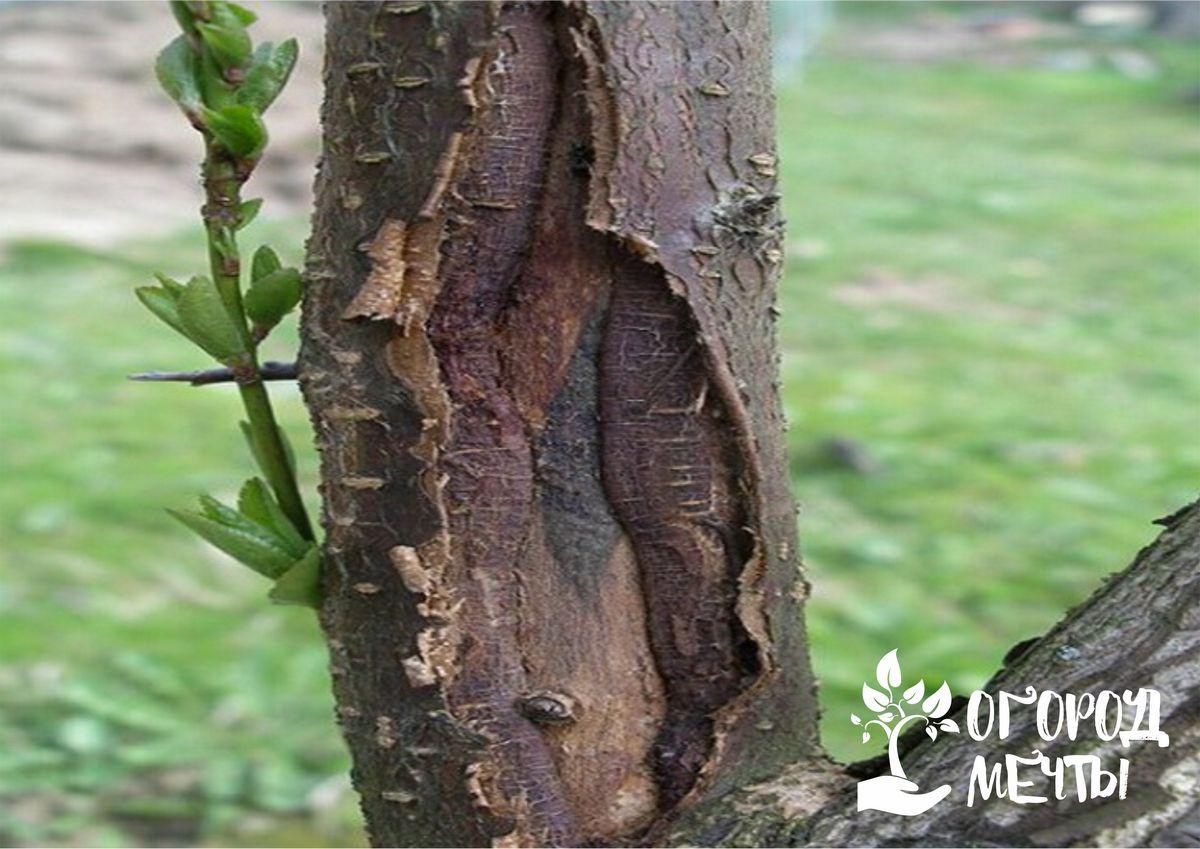 Заболевания древесной коры
