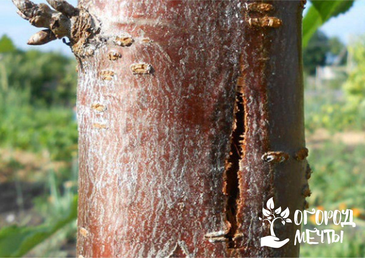Трещины на древесной коре: причины и способы лечения