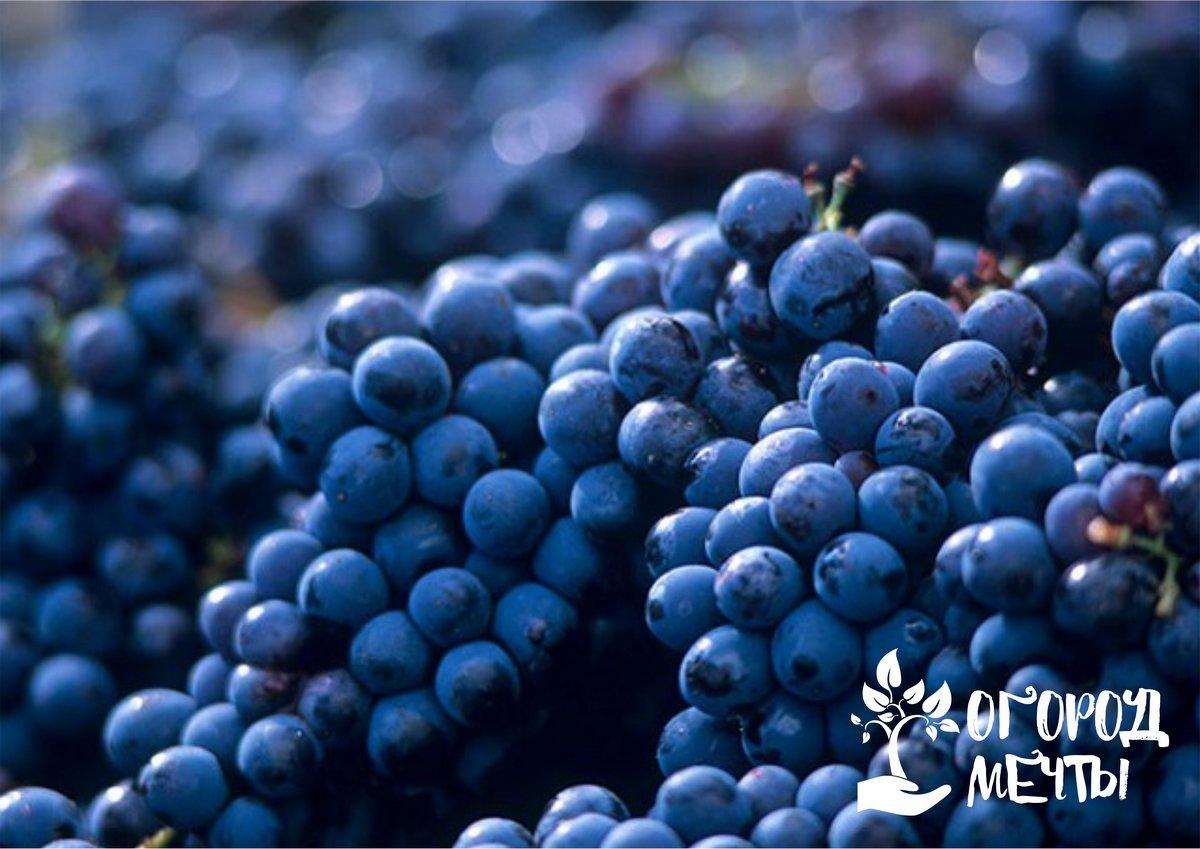 Одиннадцать лучших сортов позднего винограда для дачного участка