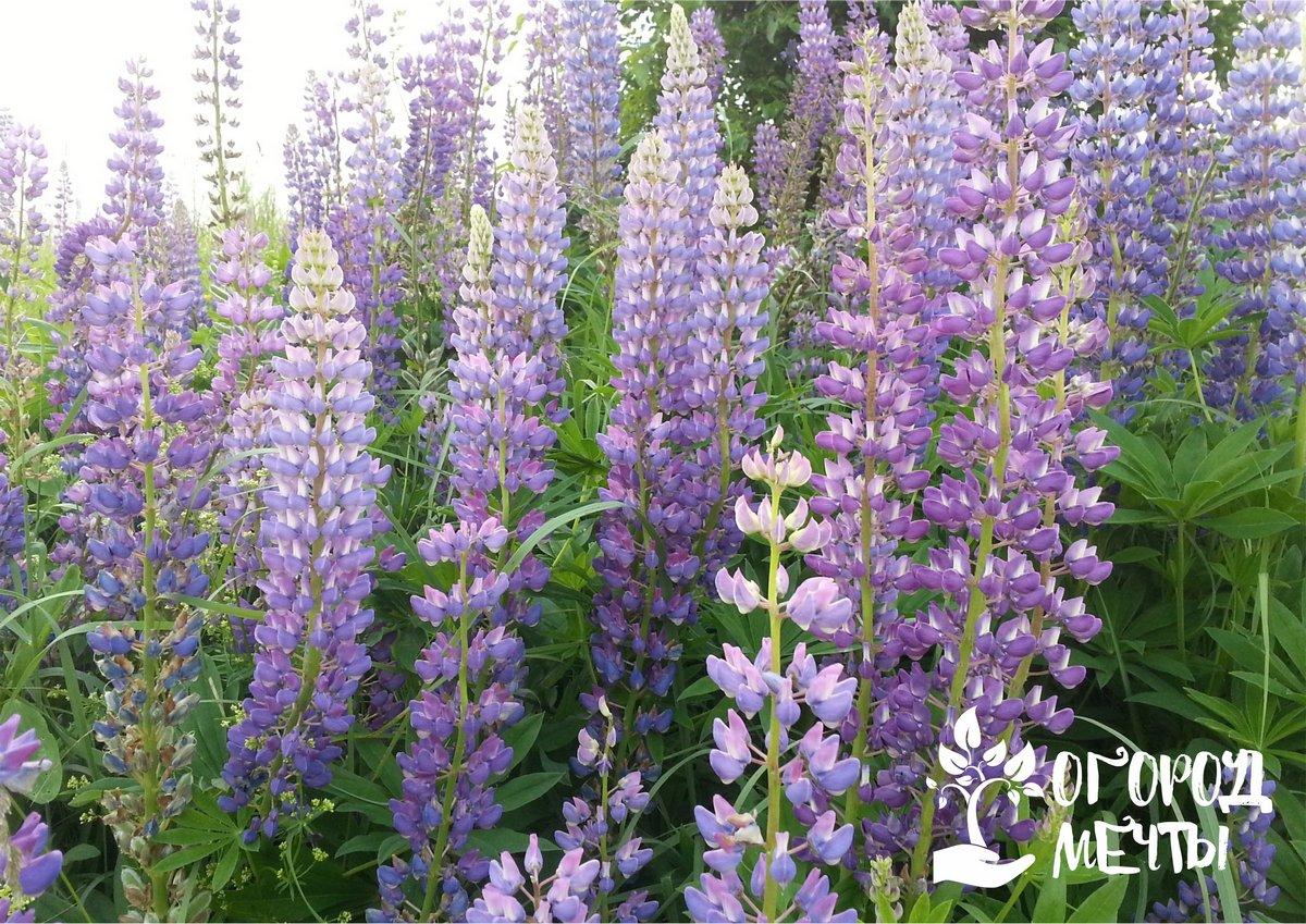 Люпин садовый: особенности выращивания и ухода