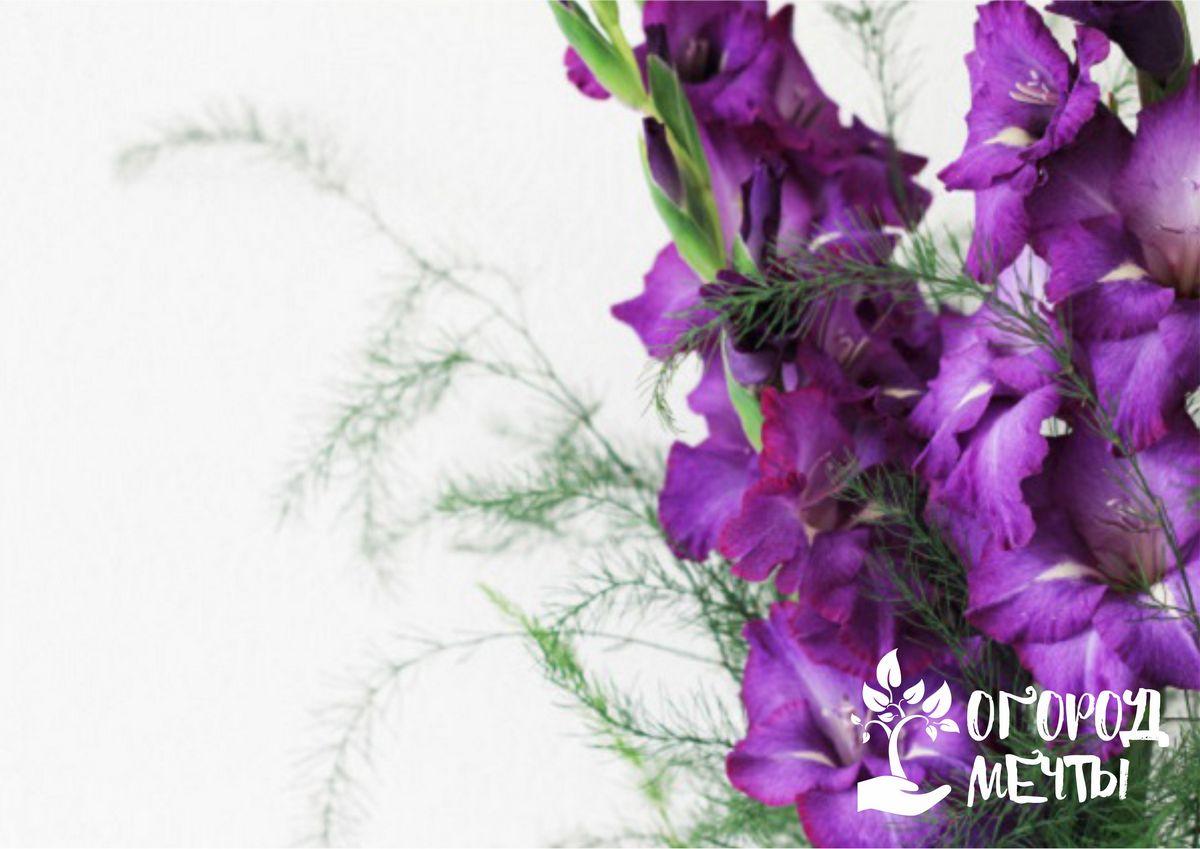 Четырнадцать сортов ярких необычных гладиолусов для клумбы и сада