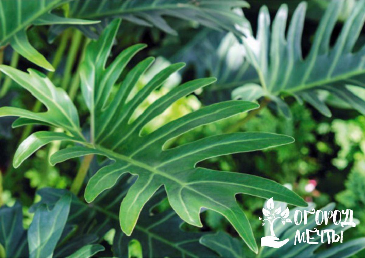 Шикарный филодендрон: основы выращивания декоративно-лиственного растения