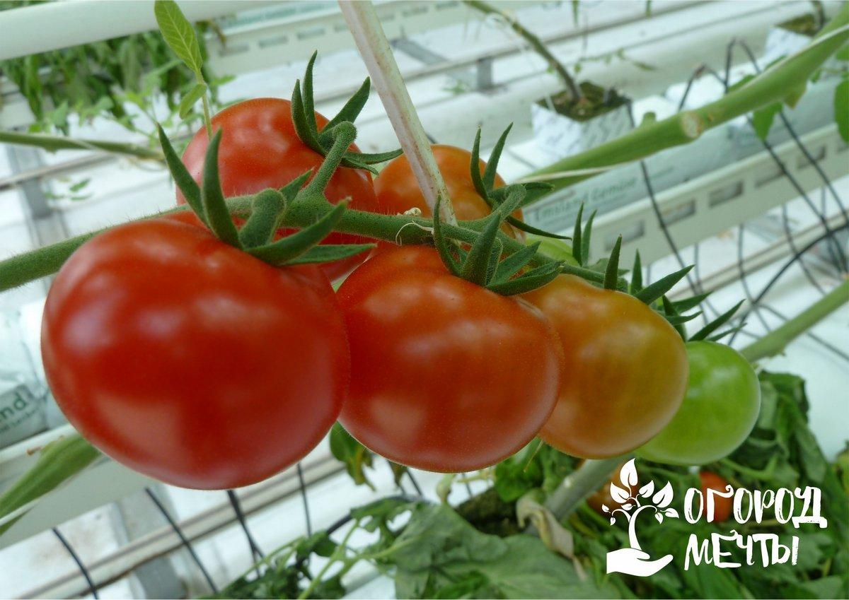 Как поливать совместные посадки огурцов и томатов: