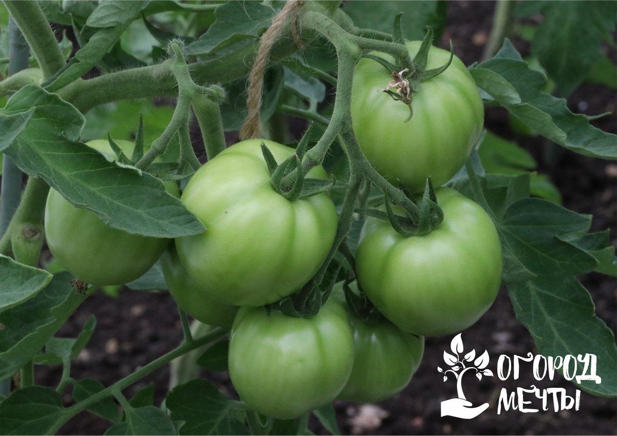 Как расположить в одной теплице огурцы и томаты:
